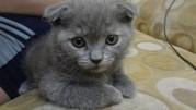 Вислоухие и с прямыми ушками котята